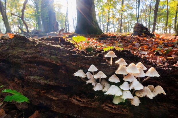 Le Centre Antipoisons met en garde contre la cueillette de champignons à l'aveuglette