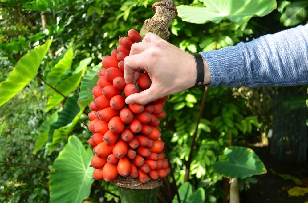 Cueillir les fruits mûrs, Jardin botanique Meise