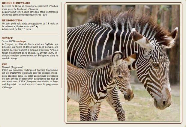 Naissance à Planckendael : le parc accueille un jeune zèbre de Grévy, espèce menacée