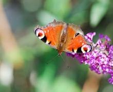 Attirer papillons et abeilles