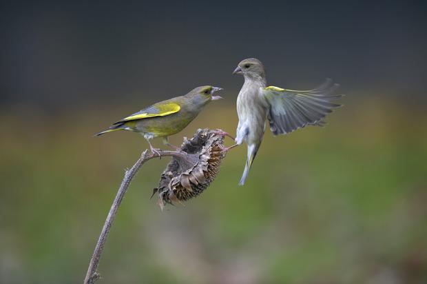 Les oiseaux granivores abandonnent nos jardins loisirs for Oiseaux de nos jardins belgique