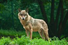 Le retour du loup en Belgique