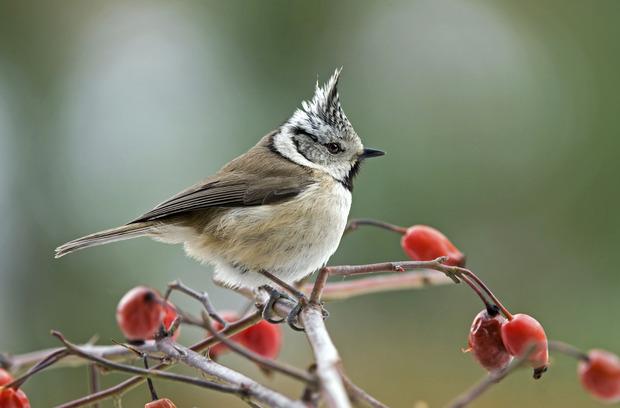 le premier week end de f vrier on compte les oiseaux des jardins loisirs. Black Bedroom Furniture Sets. Home Design Ideas