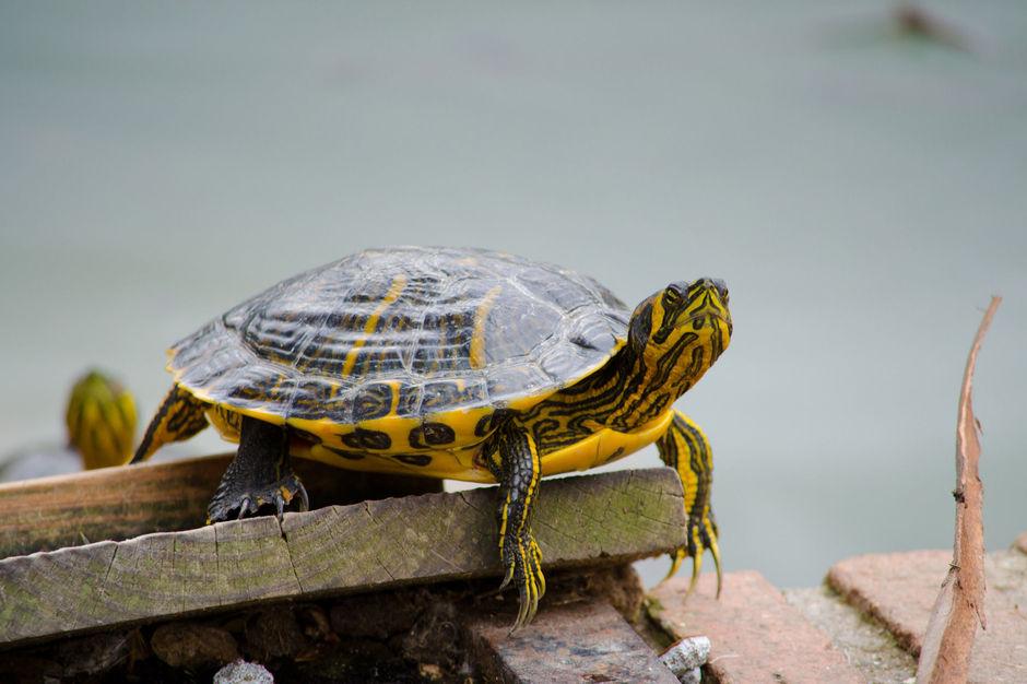 tortue d eau douce